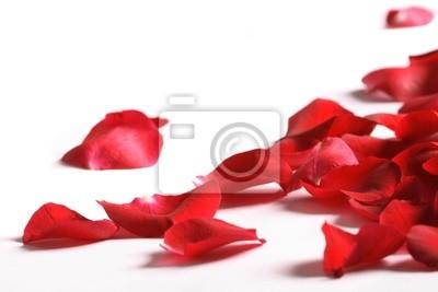 Bild Blütenblätter einer Rose, auf einem weißen Hintergrund.