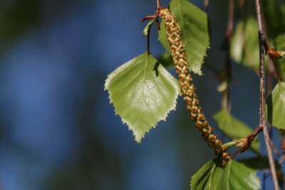 Bild Branch and leaves of birch tree
