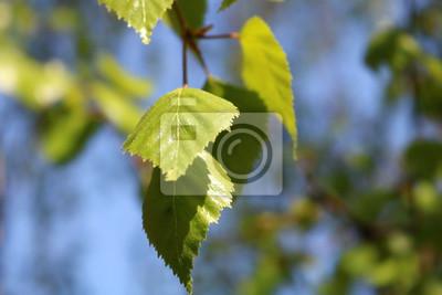 Bild Branch and leaves of birch tree