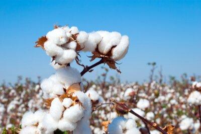 Bild Branch of ripe cotton