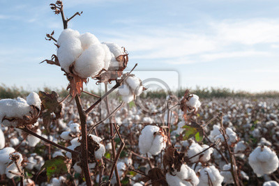Bild Branch of ripe cotton on the cotton field