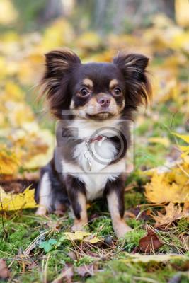 Bild Braun Chihuahua Hund Im Freien Im Herbst