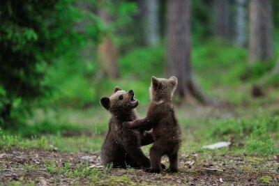 Bild Braunbär Cubs spielen im Wald