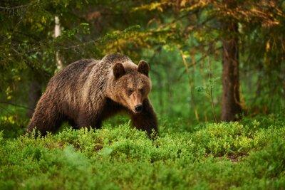 Bild Braunbär im Wald