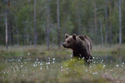 Bild Braunbär (Ursus arctos) in Moor mit Wald Hintergrund. Braunbär im Moor mit Wald Hintergrund. Taiga. Finnland.