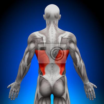 Breiter rückenmuskel - anatomie muskeln leinwandbilder • bilder ...