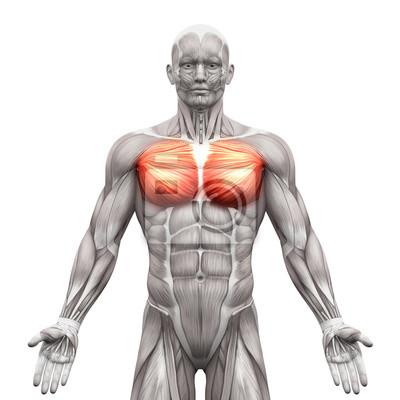 Brustmuskeln - pectoralis major und moll - anatomie muskeln ...