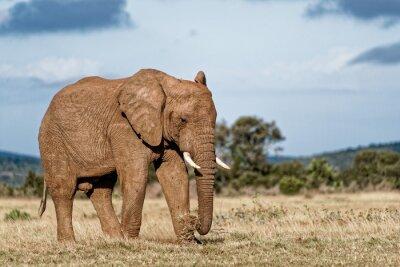 Bild Bull-Elefant
