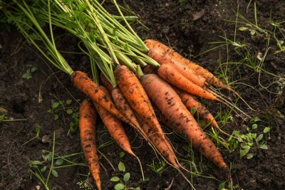 Bild Bunch of organic dirty carrot harvest in garden on ground