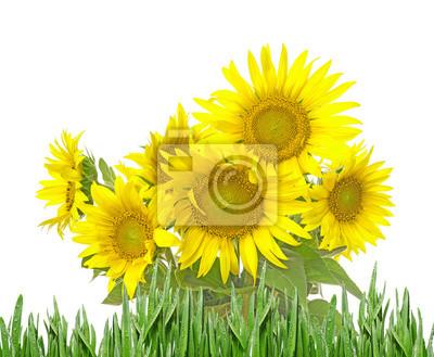 Bild Bündel von Sonnenblumen isoliert