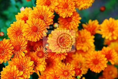 Bunte Chrysantheme Blumen Im Herbst Leinwandbilder Bilder Teppich