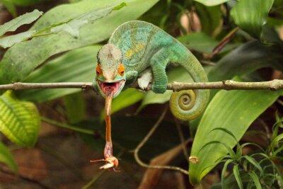 Bild Camaleão em Madagaskar