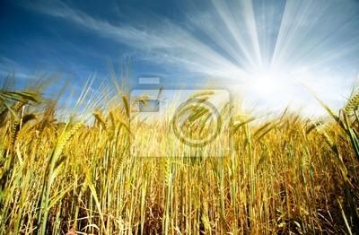 campo de trigo y Sol