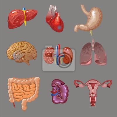 Cartoon interne menschliche organe sammlung leinwandbilder • bilder ...