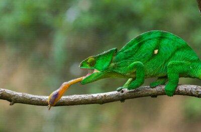 Bild Chameleon auf der Jagd Insekt. Lange Zunge Chamäleon. Madagaskar. Eine ausgezeichnete Illustration. Nahansicht.