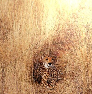 Bild Cheetah