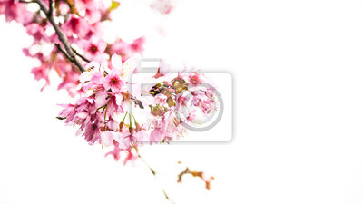 Bild Cherry blossoms