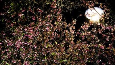 Bild Cherry blossoms of night