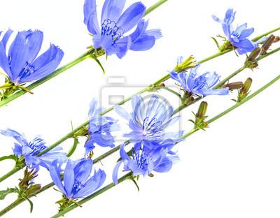 Bild chicory flowers