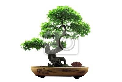 Chinesischer grüner Bonsai-Baum auf weißem Hintergrund.