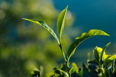 Bild Close-up der grünen frischen Teeblätter auf der Plantage.