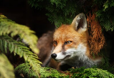 Bild Close up of a Red fox lying under a tree