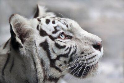 Bild Close up Portrait eines weißen Bengal Tiger. Das schönste Tier und sehr gefährliches Tier der Welt. Dieser schwere Raubvogel ist eine Perle der Tierwelt. Tier Gesicht Porträt.