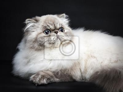 Close up von Tabby-Punkt Persische Katze liegend isoliert auf schwarzem Hintergrund nachschlagen