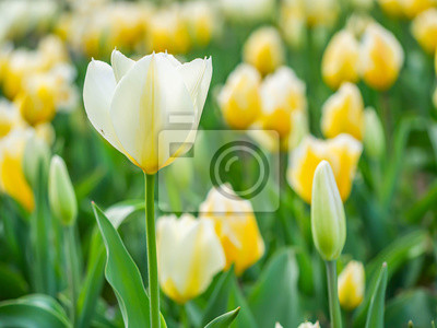 Bild Closeup of soft white and yellow tulip flower in the field or meadow at the park or garden.