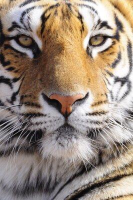 Bild Closeup Portrait Bild von einem Königstiger