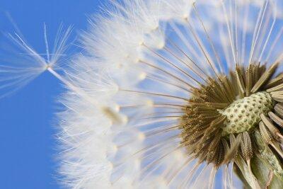 Bild Closeup von Löwenzahn auf blauem Hintergrund