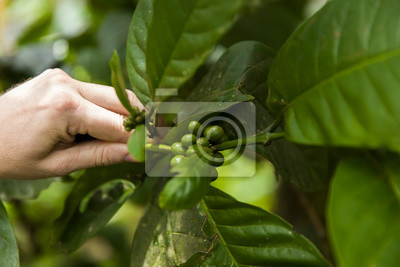 Bild Coffee beans on a branch of coffee tree with leaves
