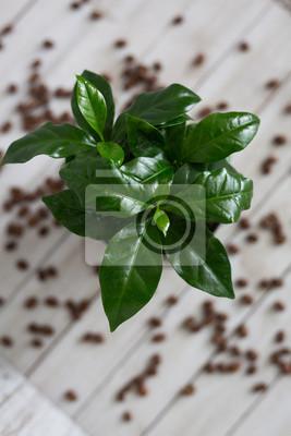 Bild Coffee Tree Shrub Plant