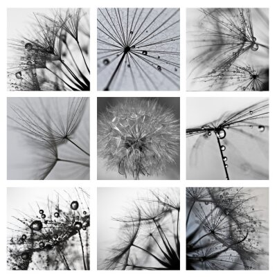 Bild Collage ze zdjęć makro Wielkiego dmuchawca
