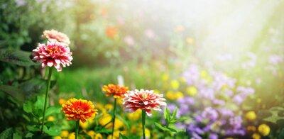 Bild Colorful beautiful flowers Zínnia spring summer in Sunny garden in sunlight on nature outdoors.