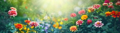 Bild Colorful beautiful multicolored flowers Zínnia spring summer in Sunny garden in sunlight on nature outdoors. Ultra wide banner format.