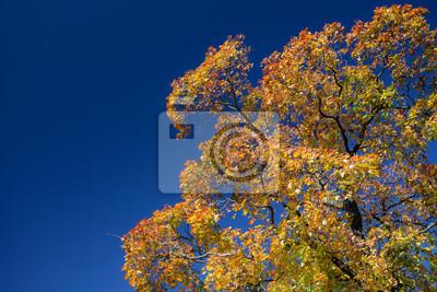 Bild Colorful maple tree against blue sky