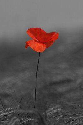 Bild Coquelicot rouge et noir