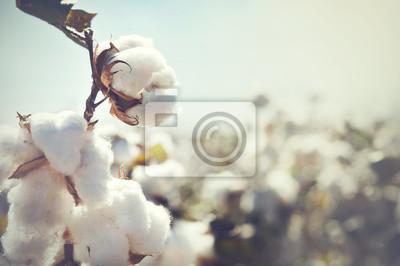 Bild Cotton bud crop - landscape with copy space