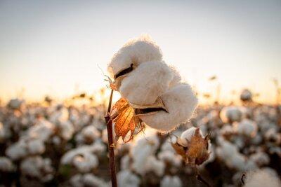Bild Cotton bud with the sunset