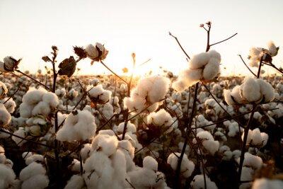 Bild cotton buds in the field