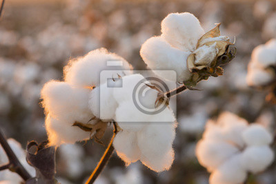 Bild Cotton Field Hintergrund bereit für die Ernte unter einem goldenen Sonnenuntergang Makro close ups von Pflanzen