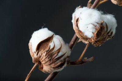 Bild Cotton Pflanze Blume auf dunklem Hintergrund