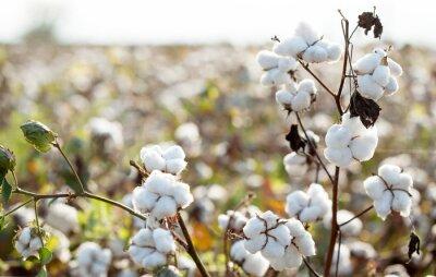 Bild cotton plantation background farming concept