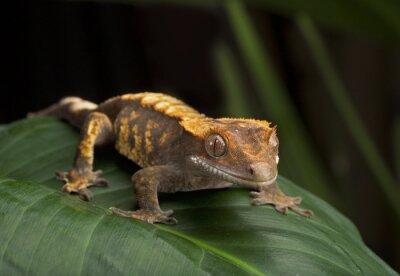 Bild Crested Gecko Seitenansicht