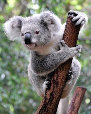 Bild Curious koala