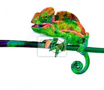 Bild cute chamaeleo with funny colors isolated on a white background
