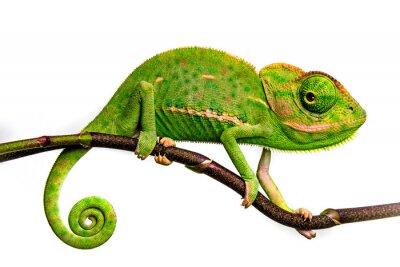 Bild cute funny chameleon - Chamaeleo calyptratus on a branch