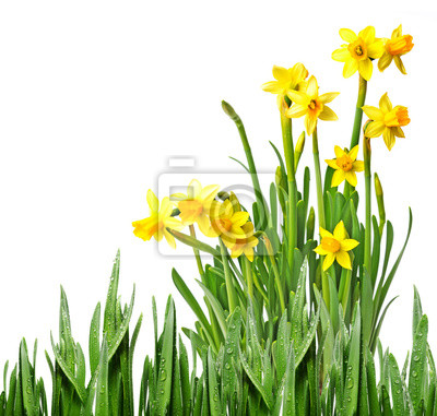 Bild daffodils in a flower pot