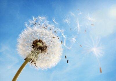 Bild Dandelion clock dispersing seed
